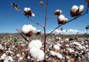 IBGE aponta crescimento de 0,8% para safra de algodão em 2020 na Bahia.